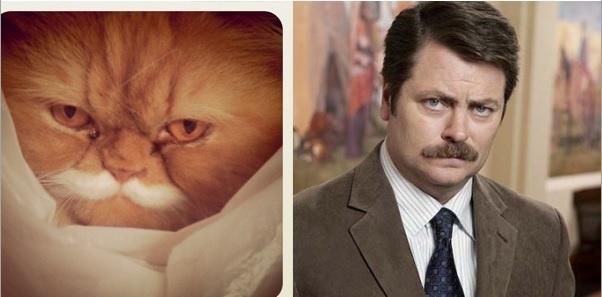 The Ron Swanson cat.