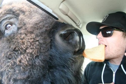 This buffalo and his best bud.