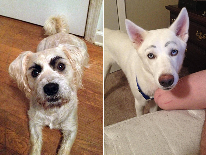 27 Hilarious Photos Of Dogs With Fake Eyebrows That Will Make Your Day So Much Better