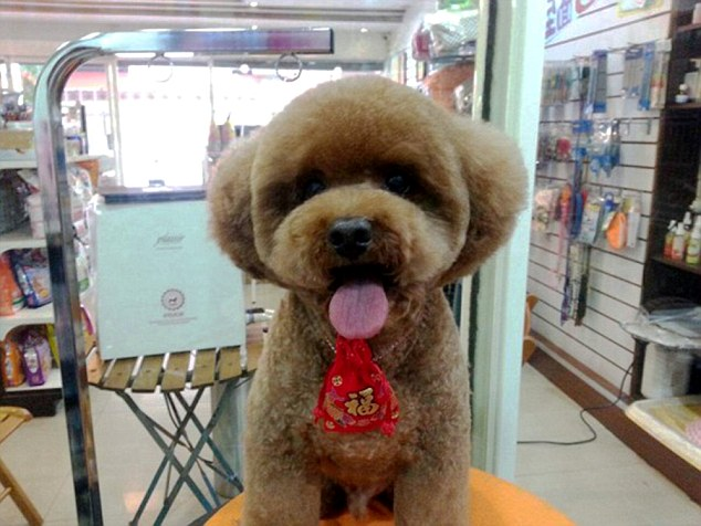 The spherical look: This dog's owner has opted for the circular cut offered by salons in Taiwan