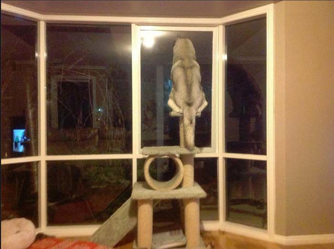 dogs-who-think-they-are-cats-11