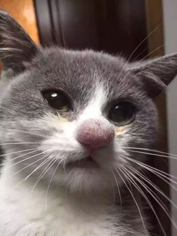 Cat's Nose After Losing A Battle With A Bee