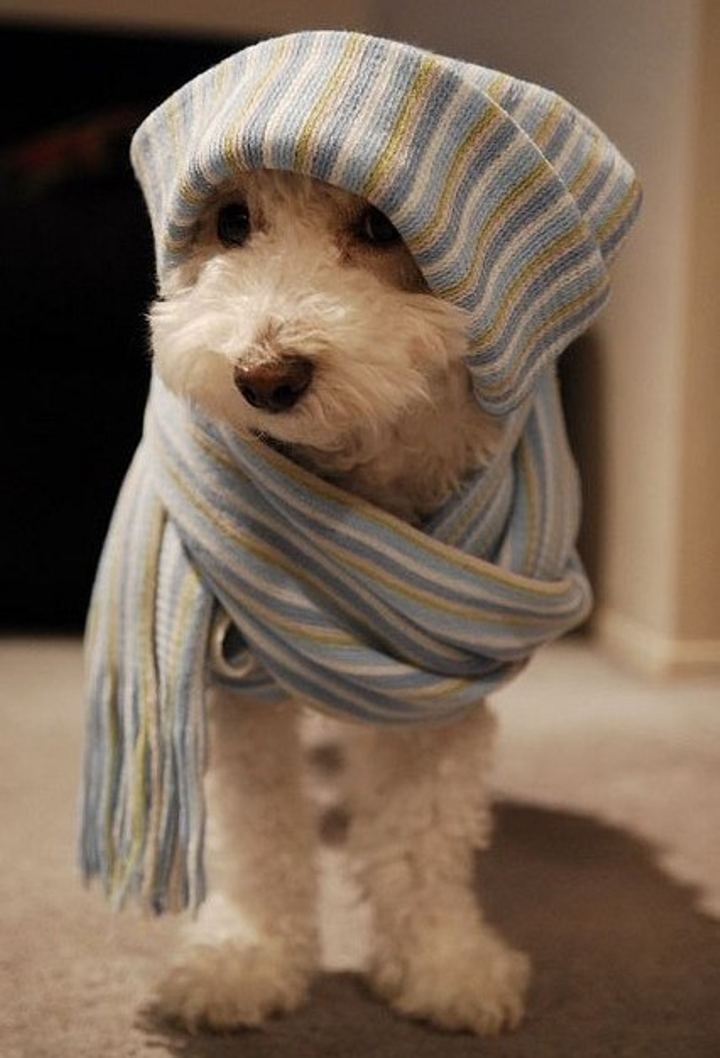 scarf doggie