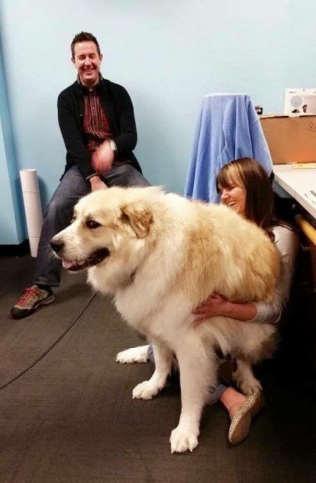 biggest dogs in the world 14