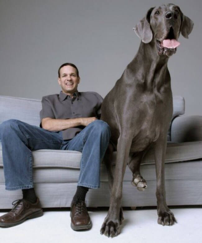biggest dogs in the world 28
