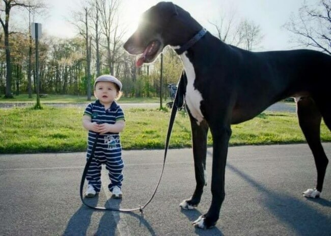 biggest dogs in the world 11