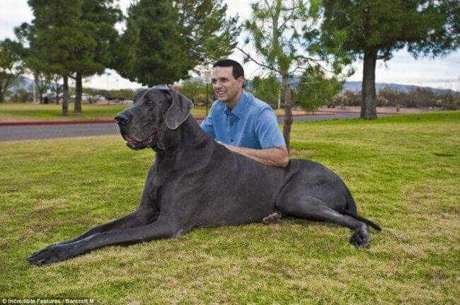 biggest dogs in the world 26