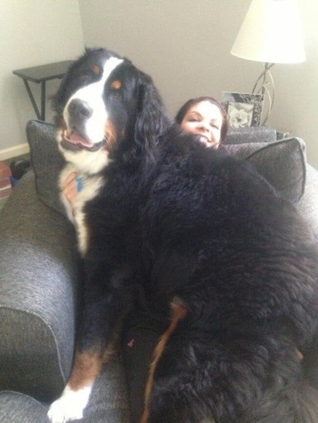 huge dogs of the world 18